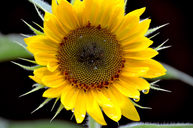 Photo by Tom Rivers: A sunflower is pictured in Albion this morning after it rained.