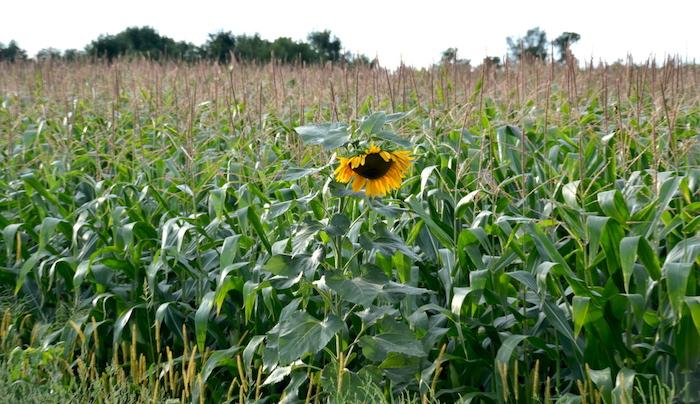 090716_sunflowercorn