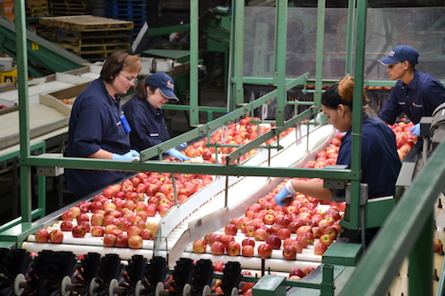 Workers on the packing line check Gala apples for any defects on Tuesday. Dobbins has about 75 full-time employees in Lyndonville.