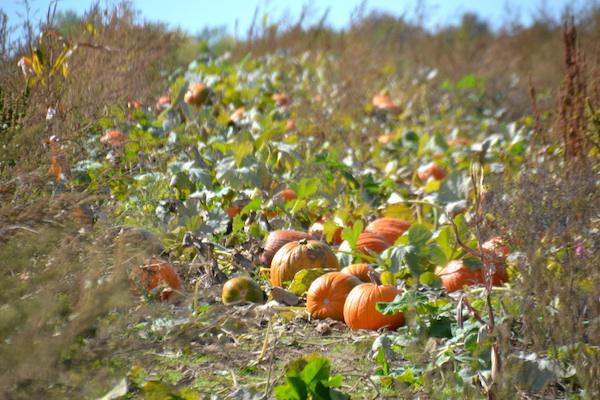 100716_pumpkins