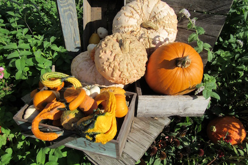 Photo by Kristina Gabalski: An autumn gourd display is shown at Hurd Orchards in Holley. Master Gardeners will explain how to grow, dry and craft with ornamental gourds during their annual Fall Education Series underway now at Orleans County Cooperative Extension.