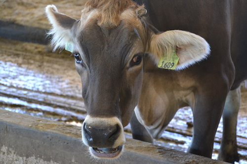 Photo by Tom Rivers: A cow is pictured recently at Post Farms in Elba.