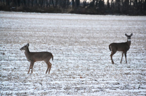 File photo by Tom Rivers: These deer are pictured on Nov. 20, 2014 when they were close to the road on the west side of Route 279 in Gaines, just south of Route 104.