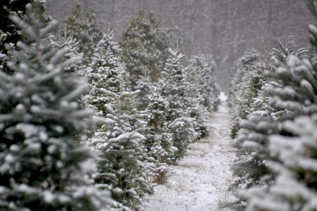 121116_christmastrees