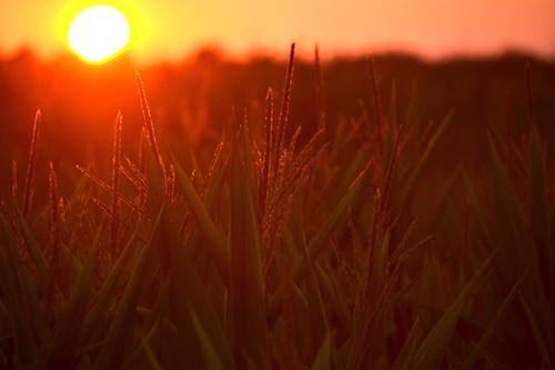 Photo by Tom Rivers: This photo from Aug. 3 shows a field of corn while the sun is setting in Gaines.